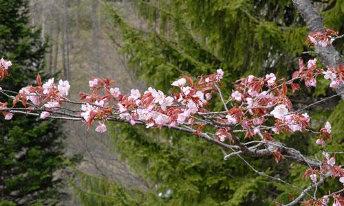 旭山公園の桜2