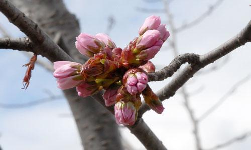 旭山公園の桜1