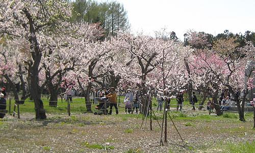 北海道神宮境内の梅 2010