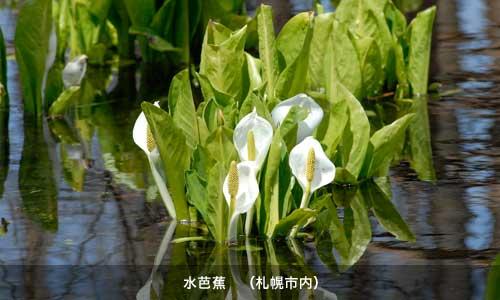 札幌市内の水芭蕉
