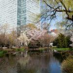 道庁の桜1